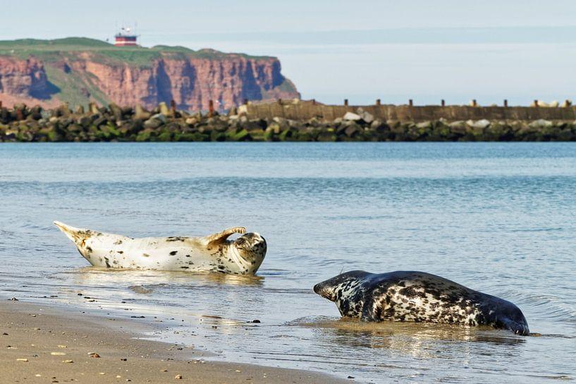 Kegelrobben am Strand der Nordseeinsel Helgoland von Ralf Lehmann
