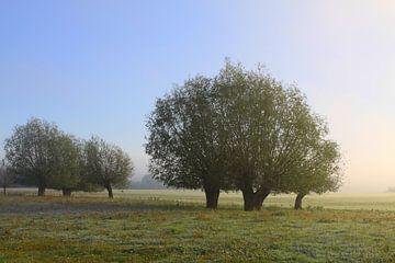 Kopfweiden im Licht der aufgehenden Sonne von Karina Baumgart