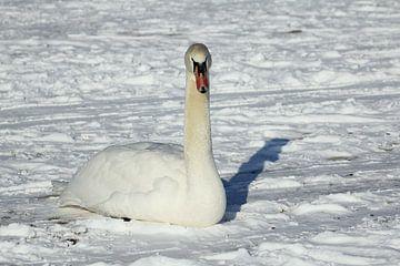 Zwaan rust uit in de sneeuw van Joan Plaatsman