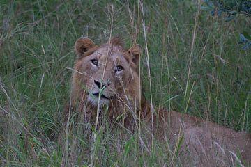 Leeuw in het gras van Wesley Klijnstra