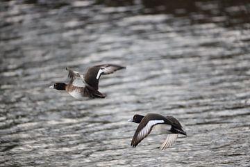 Fliegende Enten von E.H. Efek