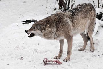 Roofzuchtige wolf brult boos en baart zijn tanden. ze bewaakt een stuk vlees van vijanden, bang voor van Michael Semenov