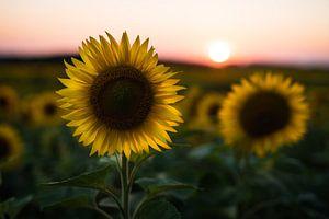 Zonnebloem bij zonsondergang van