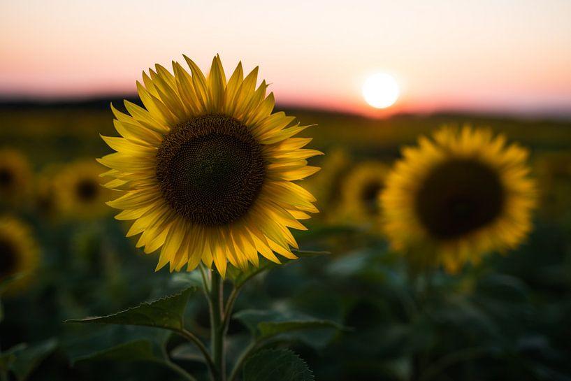 Zonnebloem bij zonsondergang van Mark Wijsman
