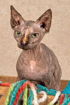 Sphynx kat van Tony Wuite