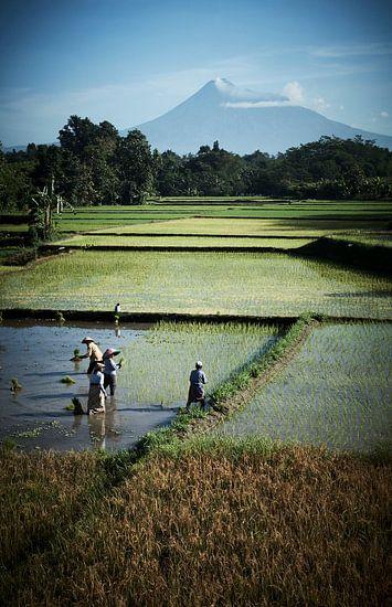 arbeiders in rijstveld Java (gezien bij vtwonen)