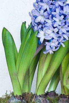 Blauwe hyacinth van Egon Zitter