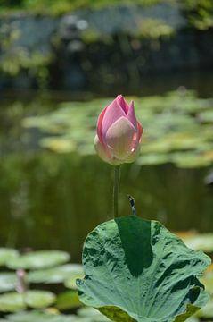 Heilige Lotus van Jeffry Clemens