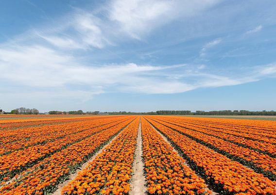 Tulpenvelden op een zonnige dag.