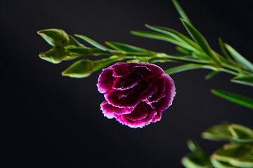 Roze bloem in zwart van