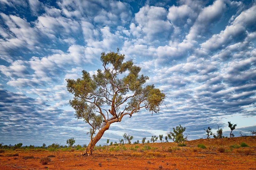 Eucalyptus boom (Eucalyptus racemosa) van Chris Stenger