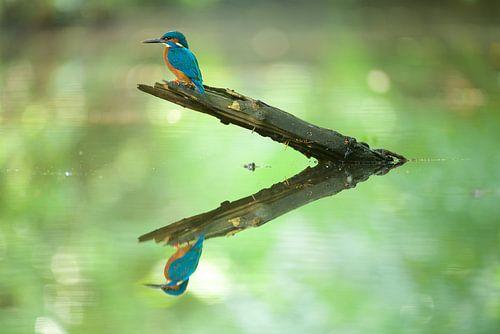 IJsvogel reflectie