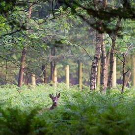 Ree in het bos van Evert Jan Kip