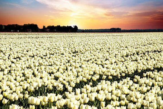 Witte tulpen in zonsondergang van Gert Hilbink