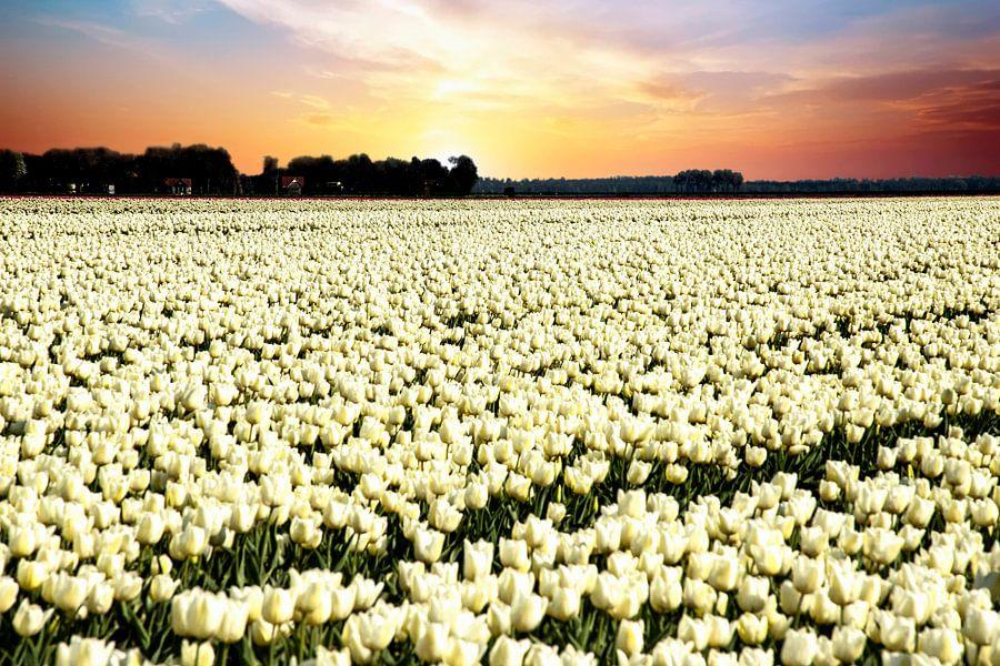 Witte tulpen in zonsondergang