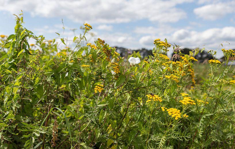 champ de fleurs de champs jaunes et blanches sur ChrisWillemsen