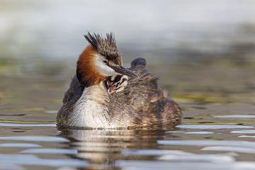 Moeder Fuut met haar jong op haar rug van Karin Bijpost