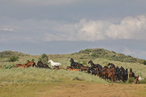 Paarden in de Kooikersdunen van