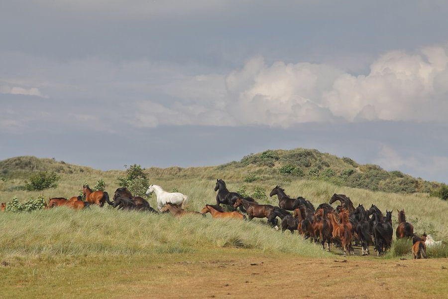 Paarden in de Kooikersdunen
