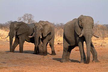 Afrikaanse olifanten op de savanne van Roland Brack