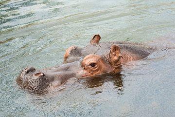 Kop van zwemmend nijlpaard  van Tonko Oosterink
