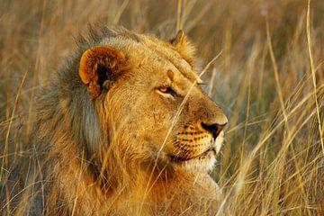 Leeuw in Okavango Delta van Marieke Funke