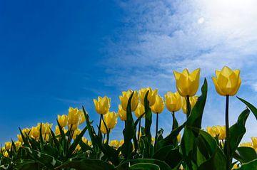 Gelbe Tulpen von Wijnand Medendorp