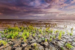 Wadden met Zeekraal planten en wolkenlucht van