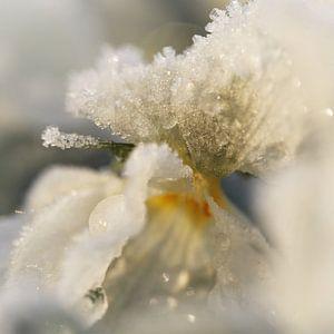 Wit viooltje met rijp en ochtendzon van Marion Lucassen