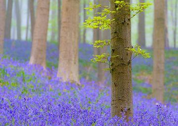Buche und Bluebell Blumen in einem Wald im Frühjahr von Sjoerd van der Wal
