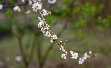 Schlehdorn in Blüte von Percy's fotografie