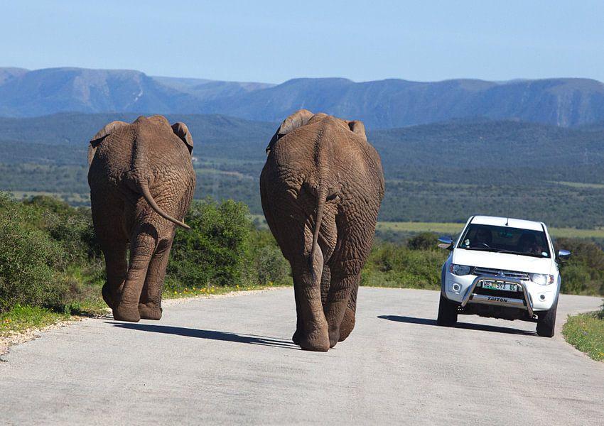 Olifanten aan de wandel