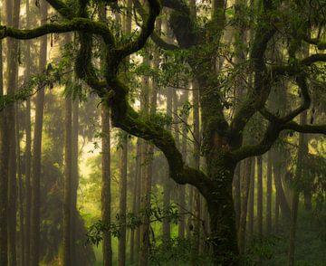 Mooie grillige boom tegen de verder rechte bomen op een mooie mistige dag in Alishan bos, Taiwan. van Jos Pannekoek