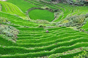 Rijstveld Vietnam sur Maurice Ultee