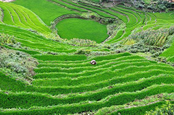 Rijstveld Vietnam van Vladimir Neski