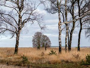Birken auf dem Moor