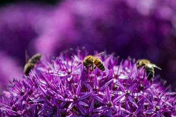 Zierlauch mit Bienen