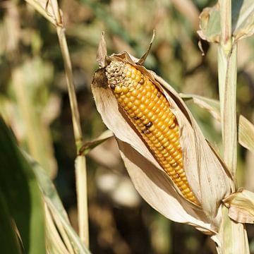 rijpe maïs op de kolf van Heiko Kueverling