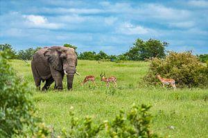 Olifant met antilopes in Kruger National Park, Zuid-Afrika van Koen Henderickx