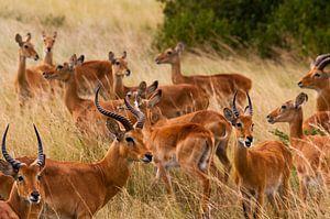Uganda Cobs