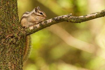 Siberische grondeekhoorn zit op een tak van de boom  van Paul Wendels