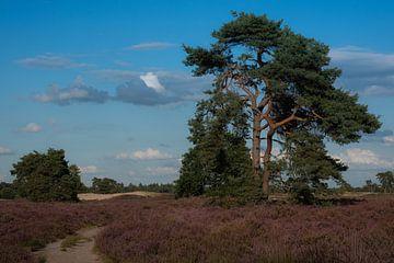 Landschap paarse hei van Susan van Etten