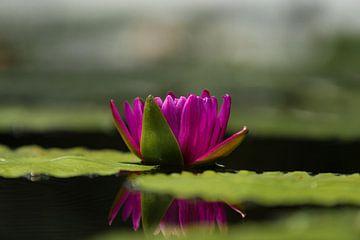 Roze Lotus van Schram Fotografie