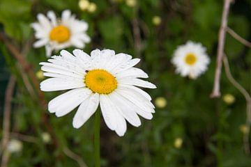 Blühende Gänseblümchen im Frühling von Ger Beekes