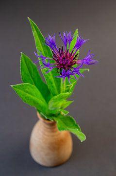 Flockenblume (Centaurea) von Fartifos