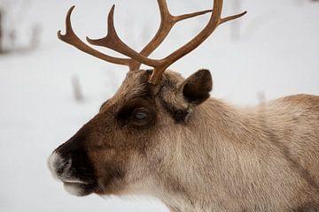 Rendier in de sneeuw, Noorwegen van Martijn Smeets