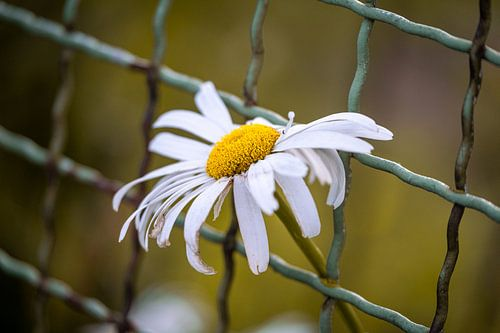 Gänseblümchen im Zaun