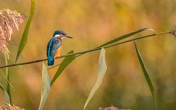 Ijsvogel in de ochtend van Ard Jan Grimbergen