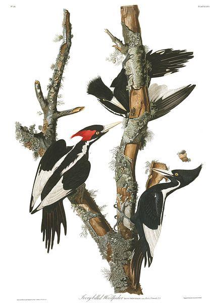 Grote Ivoorsnavelspecht van Birds of America
