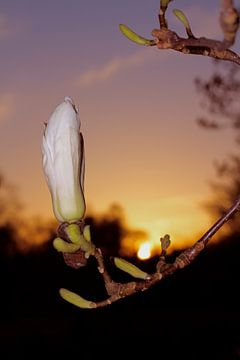Magnolia & zonsondergang van Marianna Pobedimova